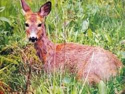 Сърната все по-често се среща в горите на Източни Родопи